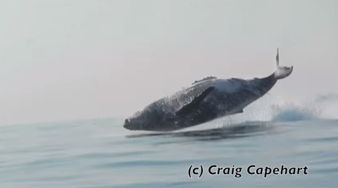 Breaching_whale_welovemercuri.jpg