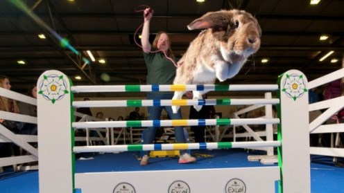 Cute Bunny Jumping Competition.jpg
