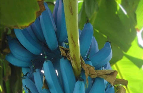 banane blu_blue_java_welovemercuri.jpg