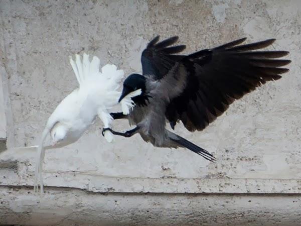colombe-papa-attaccate-corvo-gabbiano_.jpg