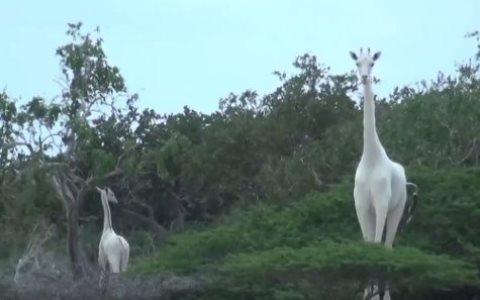 giraffe_bianche_welovemercuri.jpg