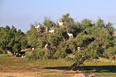 morocco_capre_alberi.jpg